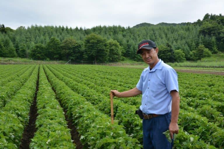 Perilla (Shizo) field in Hokkaido